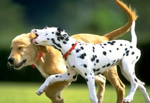2dogs-playing